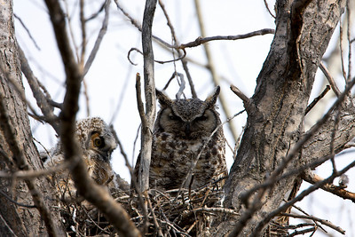 Great Horn Owl and Chicks