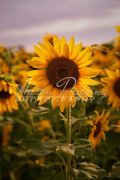 Sunflowers-02-p.jpg
