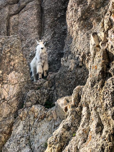 Goat in The Needles -2183.jpg