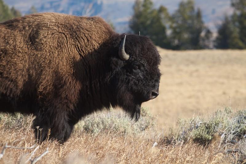 Bison portrait Yellowstone N.P. WY IMG_0068837.jpg