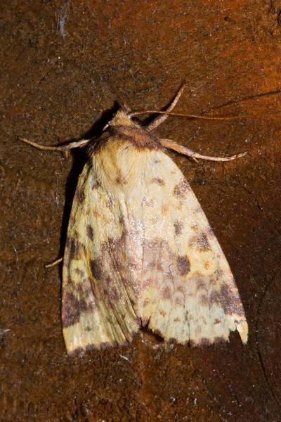 Sallow - Pink-barred - (Xanthia tatago) - Dunning Lake - Itasca County, MN