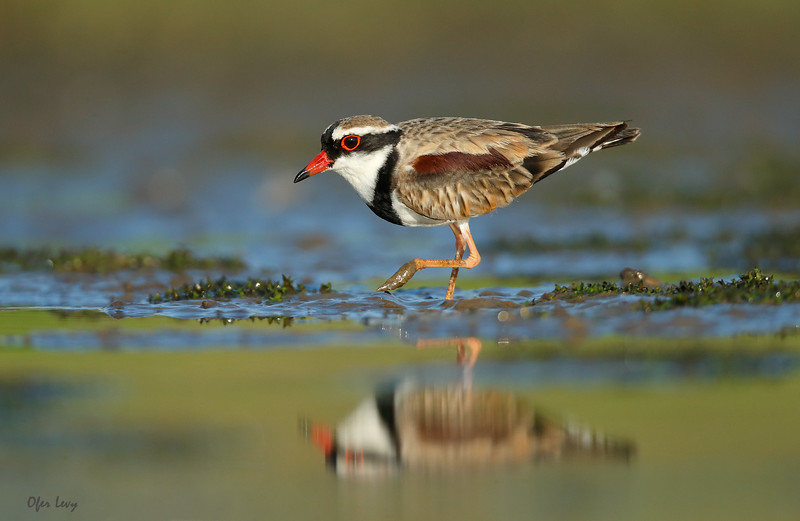 Black-fronted Dotterel 5.jpg