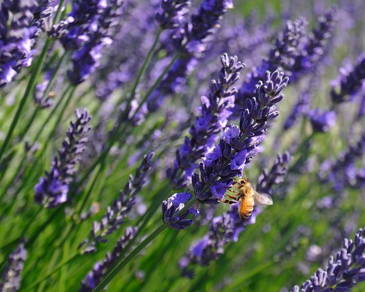 2012_Lavender_5731_1.jpg
