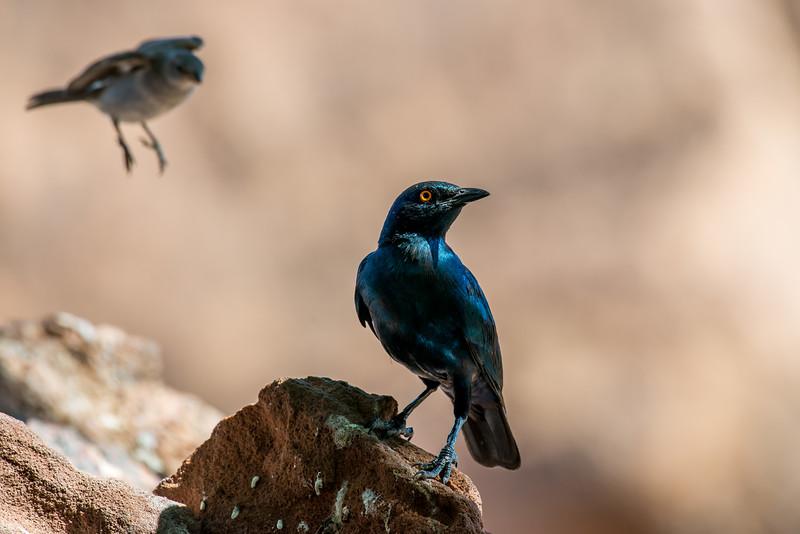 Cape Starling
