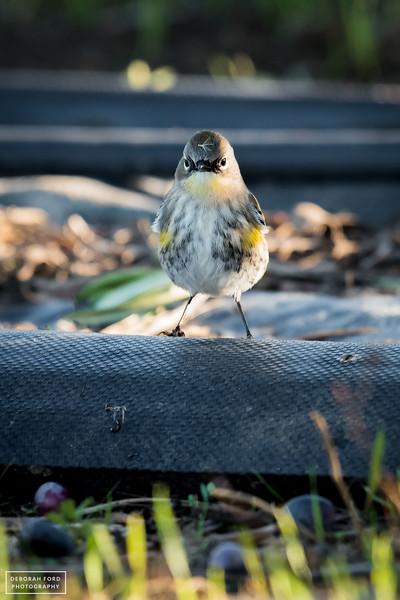 Audubon's (Yellow-rumped) Warbler
