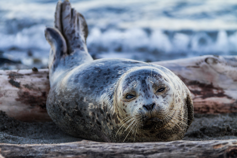 Seal relaxing on sand