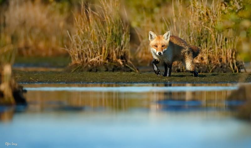 Fox (Australia) 2 MASTER.jpg