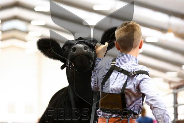 Breeding Heifers