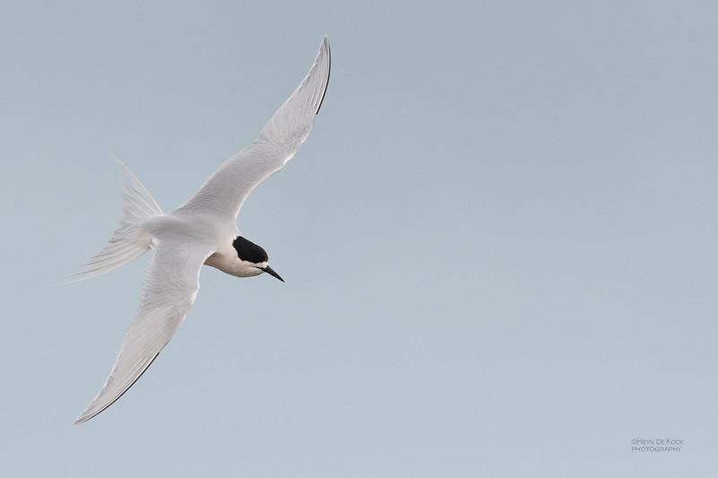 White-fronted Tern, Christchurch, SI, NZ, Sep 2018-3.jpg
