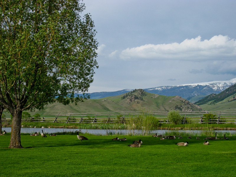 Canadian Geese at the edge of the National Elk Refuge