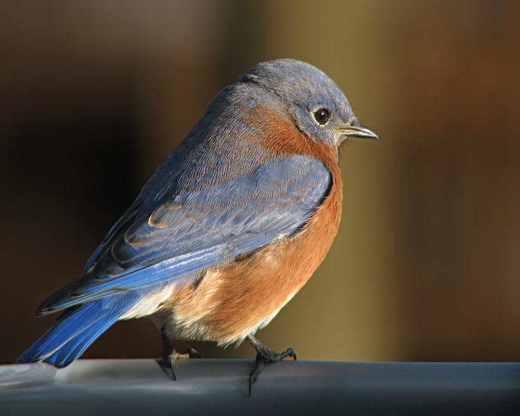 bluebird_8290.jpg