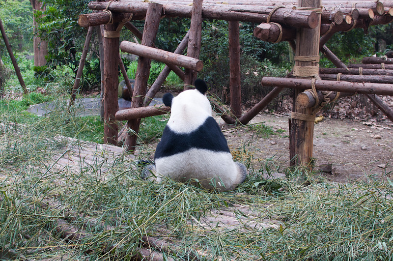 Giant_Panda_cute_back_Chengdu_Sichuan_China2.jpg