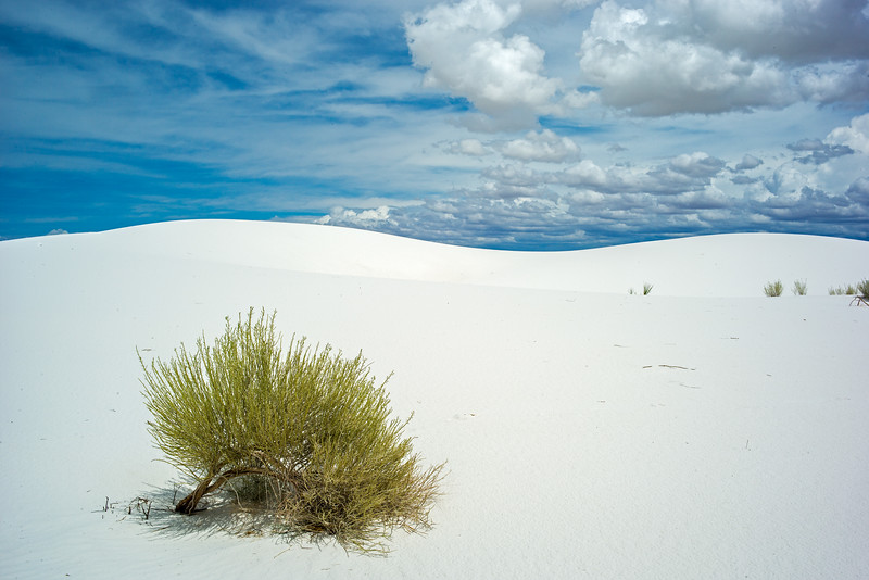 lone desert shrub White Sands.jpg