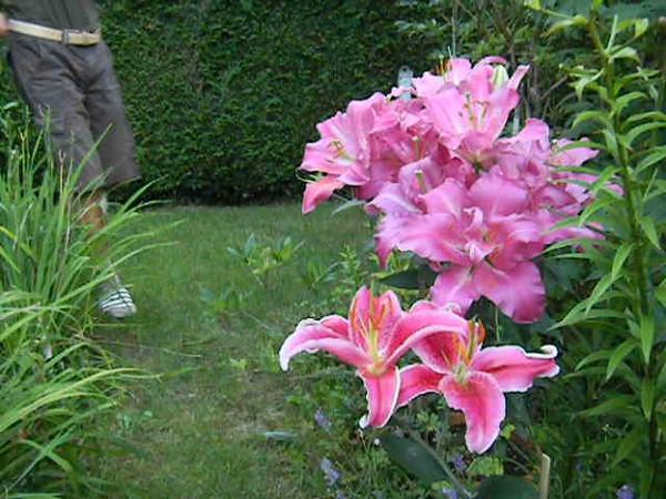 Listen to Pontus Wallstén talk about 2 fabulous oriental lily hybrids : lilium 'Le Rève' and Lilium 'Stargazer'