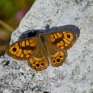 Argusvlinder; Le Satyre; La Mégère; Mauerfuchs; Wall Brown; Lasiommata megera