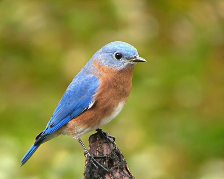 bluebird_5803.jpg