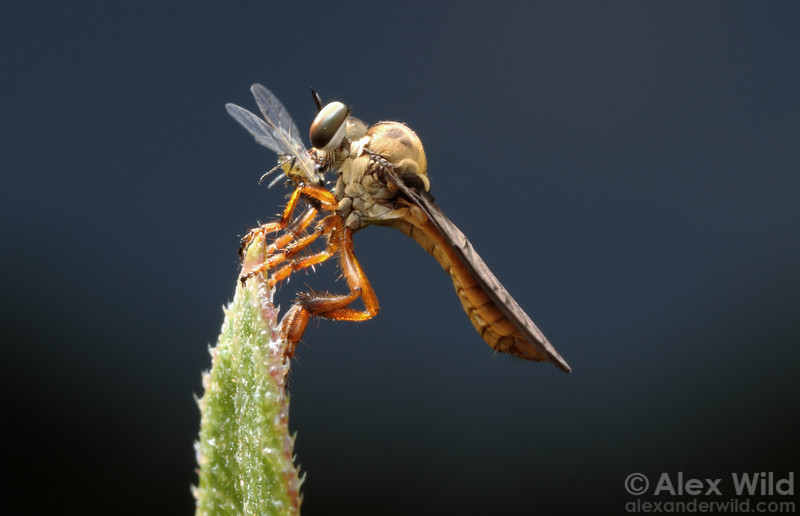 A small robber fly (Asilidae) perches in an Illinois prairie with freshly-caught aphid prey.
