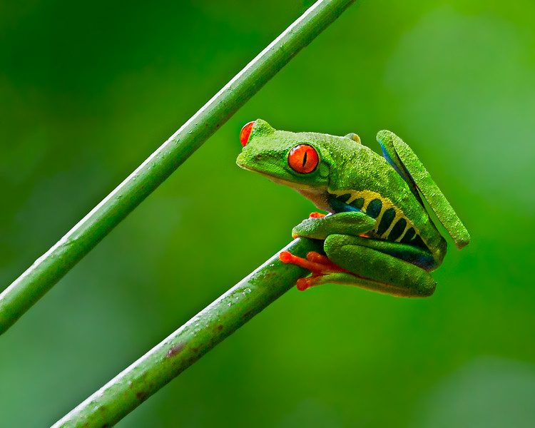 A Red-eyed Tree Frog - taken in Costa Rica
