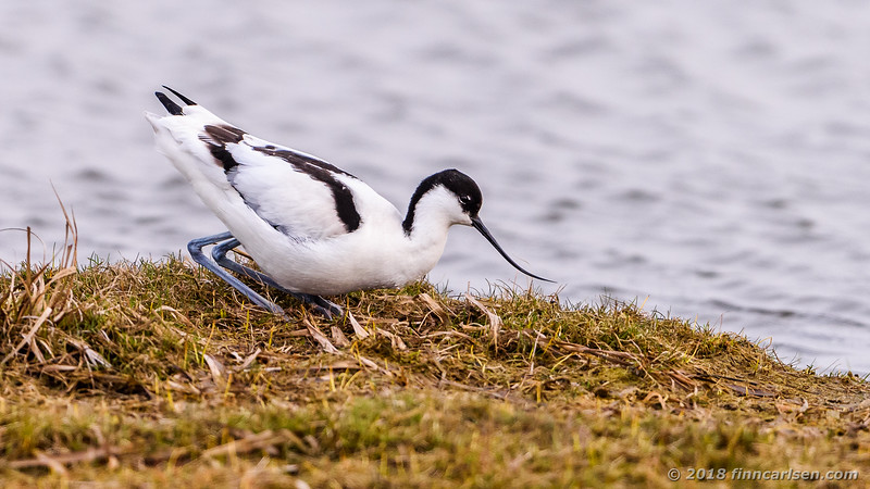 Klyde - Recurvirostra avosetta - Pied Avocet