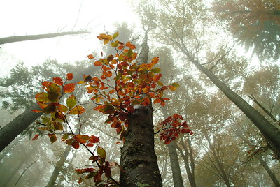 Looming beech forest in autumn