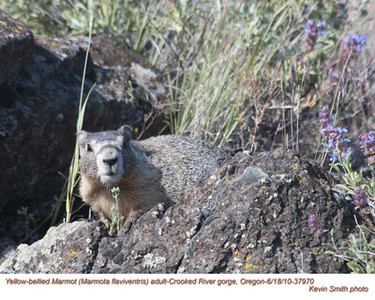 YellowBelliedMarmotA37970.jpg