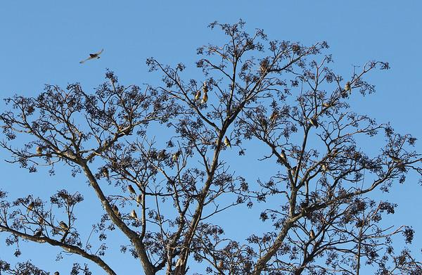 Cedar waxwings eating tree berries 021320