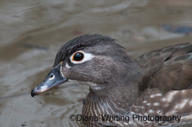 Female Wood Duck copy.jpg