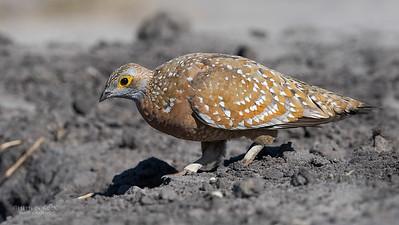 Sandgrouse (Pteroclidae)