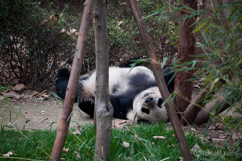 Sleeping_Panda_Chengdu_Sichuan_China.jpg