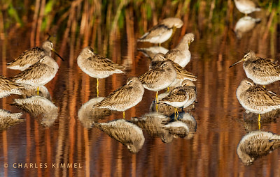 Sandpipers: 2019