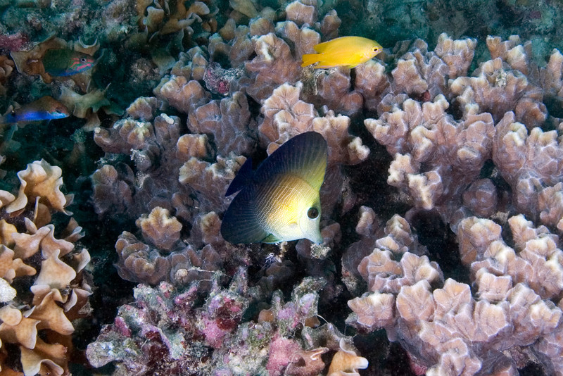 Juvenile Sailfin Tang.jpg