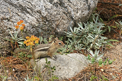 Ground Squirrels and Chipmunks