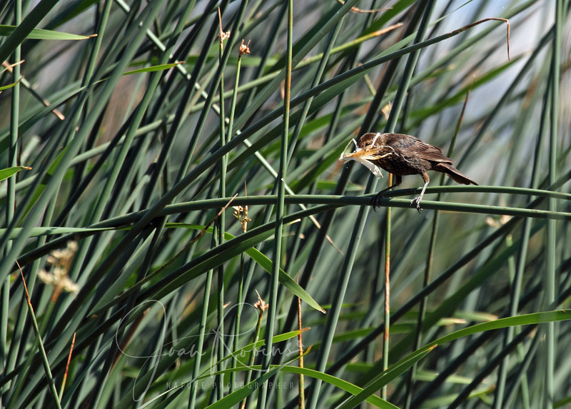 Nest-building time for Mrs Red-winged Blackbird