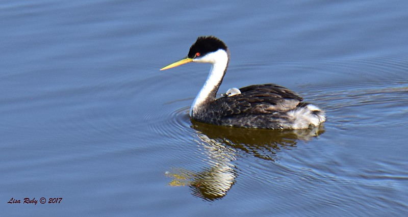 Western Grebe with baby - 6/14/2017 - Lake Hodges Pedestrian Bridge