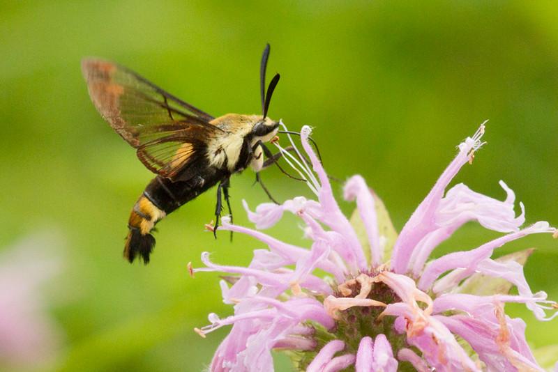 Mitchell Memorial Hummingbird Moth 2 (1 of 1).jpg