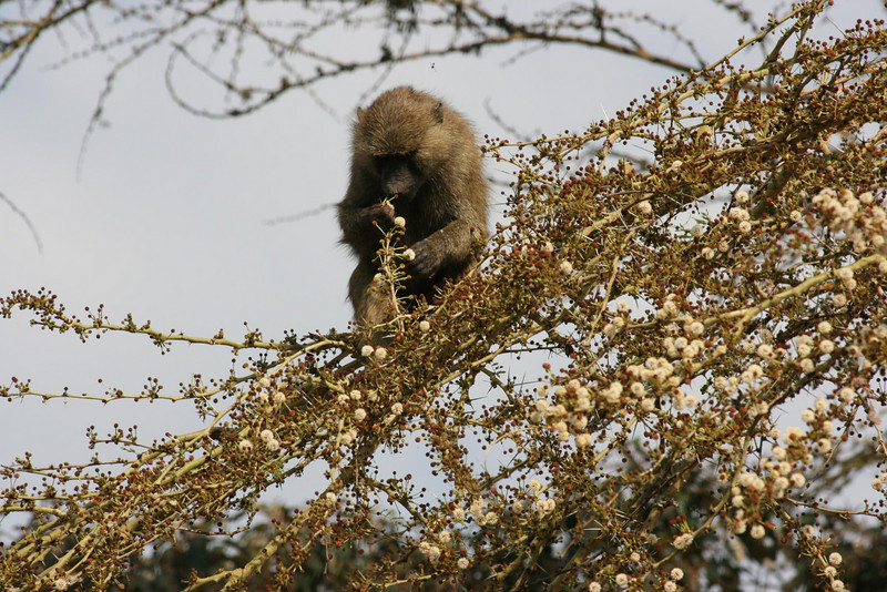 The monkeys ate every blossom & fruit on this tree.