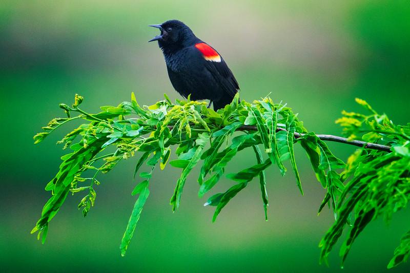 5.2.2019 - Blackburn Creek Fish Nursery: Red-Winged Blackbird.