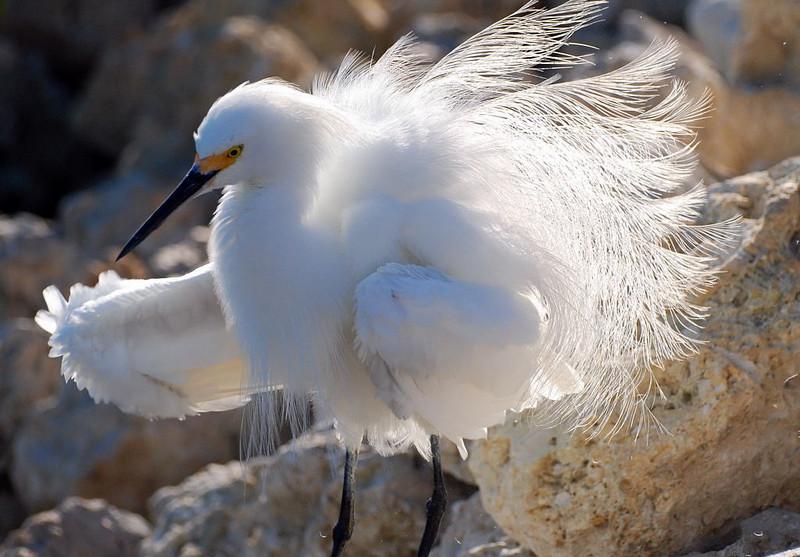 Ruffled Snowy Egret Ding Darling National Wildlife Refuge, Sanibel, Florida © 2009