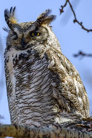 4-18-18 Great Horned Owl