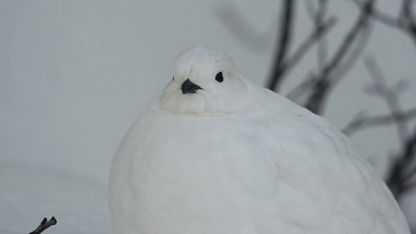 11-29-16 *^Video White-tailed Ptarmigan