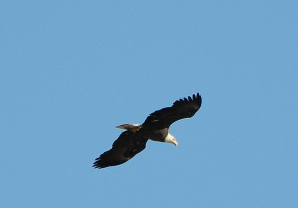 Bald Eagle at Lake Hodges 5/27/2012
