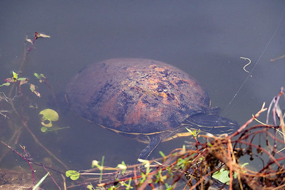 03_Everglades - Turtles