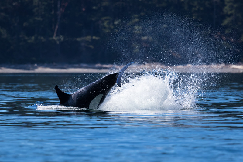 Orcas -  073115-220.jpg