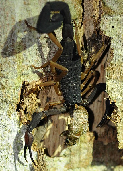 scorpion eating cicada2.jpg