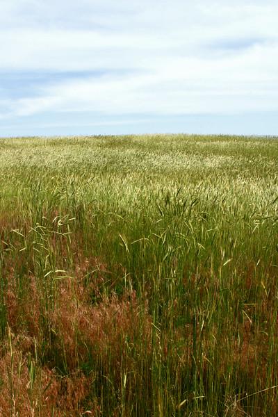 Wheat6394.jpg