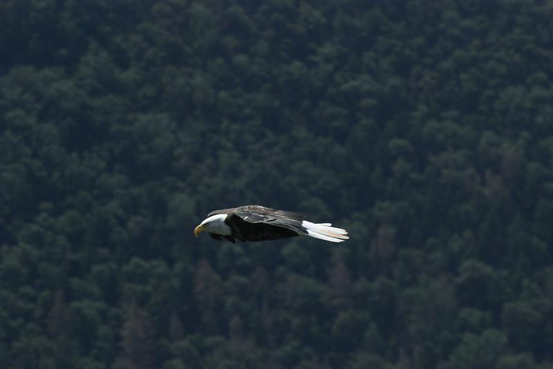 Pygargue (aigle) à tête blanche  (<i>Haliaeetus leucocephalus</i>)