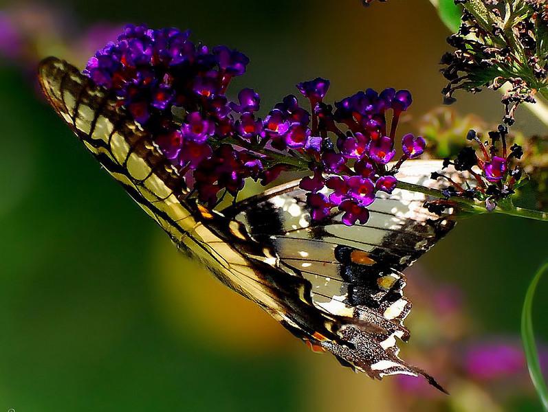 Butterflies 08-02-2008 85.JPG