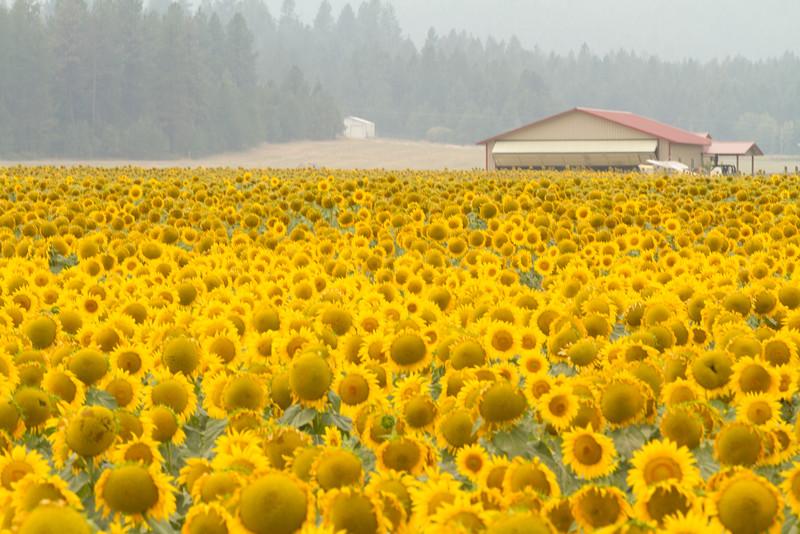 sun flowers-3906.jpg
