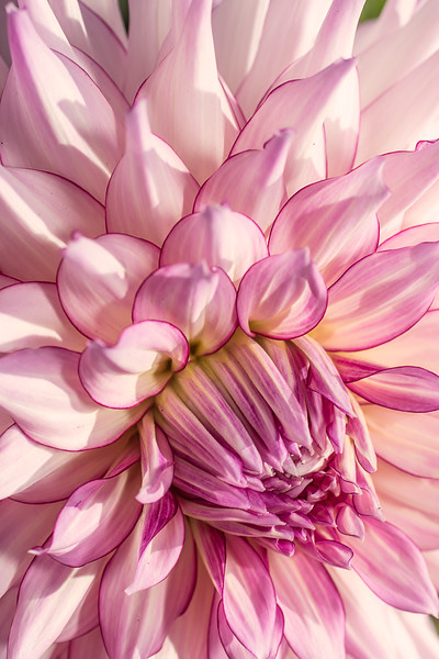 Dahlias-(385-of-408).jpg