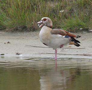 Hanhet (Geese)